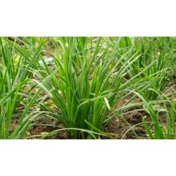Чеснова треваЧеснов шивес. Китайски чесън ( Alium Tuberosum( Garlic chives ))
