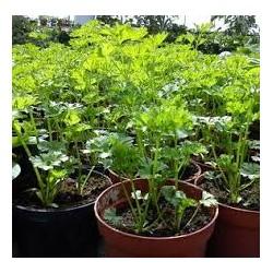 Магданоз(Petroselinum crispum)
