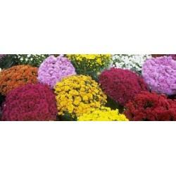 Хризантеми/Димитровче/-(Chrysanthemum)