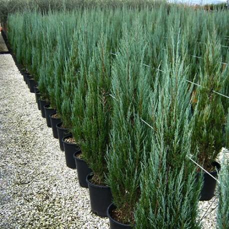 Хвойна (Juniperus scopulorum 'Skyrocket')