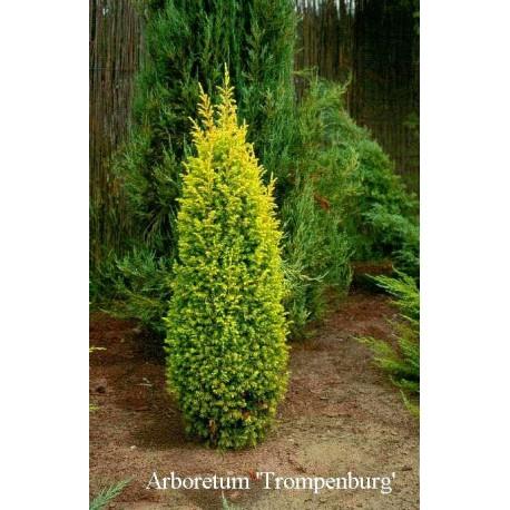 Пирамидална хвойна  златиста (Juniperus com. Gold cone)