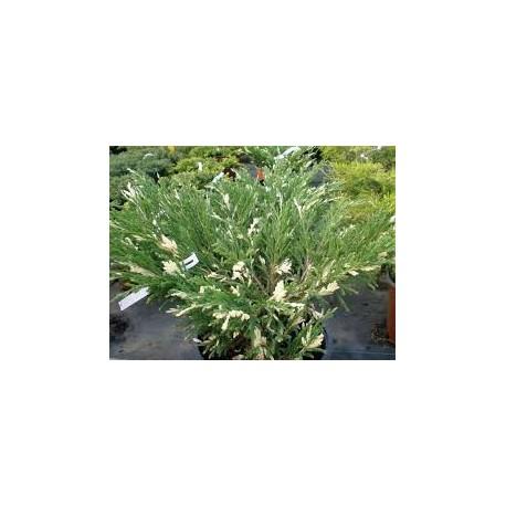 juniperus andora variegata