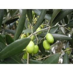 Маслина студоустойчева (Olea)