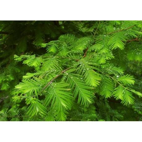 Европейската лиственица (Metasequoia, Larix decidua)