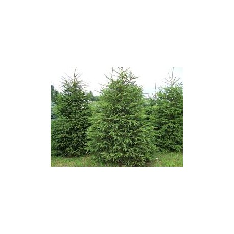 Смърч обикновен(Picea  abies )