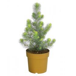 Пиния сребриста (Pinus pinea silver crest)