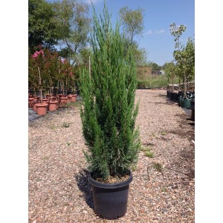 Juniperus chin. spartan