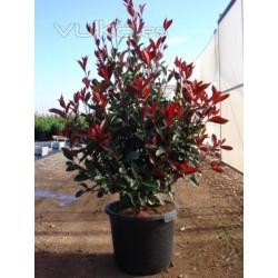 Фотиния (Photinia 'Red Robin')