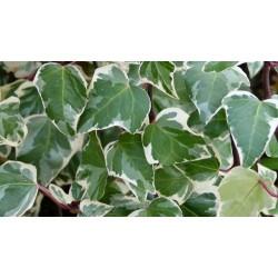 Едро листен шарен бръшлян(Hedera canariensis Variegata)