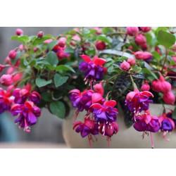 Фуксия-Обички(Fuchsia sp.)
