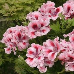 Мушкато Английско - Mайско, Юнско (Pelargonium grandiflorum)