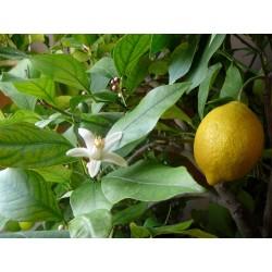 Лимон 4 сезона (Citrus × limon 'Garey's Eureka')