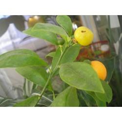 Лимон (Citrus x Limon)