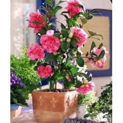 Камелия (Camellia Japonica)