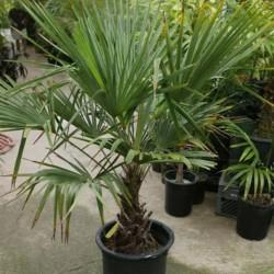 Студоустойчива палма - (Trachycarpus fortunei)