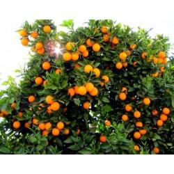 Портокал сорт Навелина (Citrus sinensis)