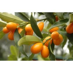 Кумкуат - Мандарина (Citrus japonica)