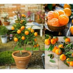 Мандарина сорт Клементина (Citrus reticulata)