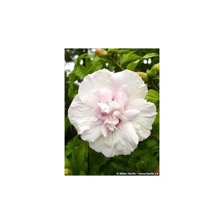 """Каркаде"" - Дървовиднаружа бяла- (Hibiscus Syriacus Jeane d arc)"