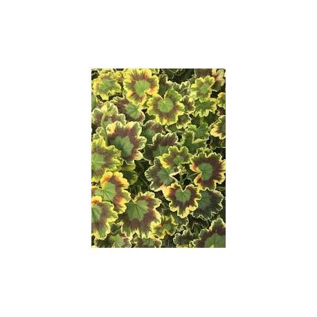 Мушкато пъстролистно -Австрйско(Pelargonium зонале Mrs Pollock)