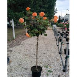 Рози щамбовидна - Роза дърво(Rosa stam)
