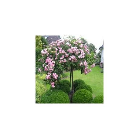 Рози щамбовидна плачеща - Роза дърво плачеща корона(Rosa stam- pendula)
