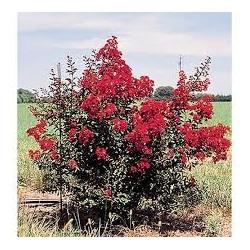 Индийски люляк червен цвят (Lagerstroemia indica red rocket)