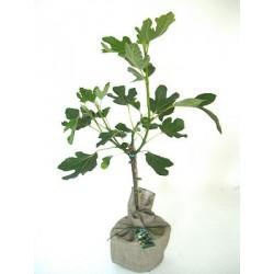 Смокиня (Ficus carica)