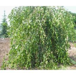 Обикновена (бяла) бреза (Betula yongii) – плачеща форма