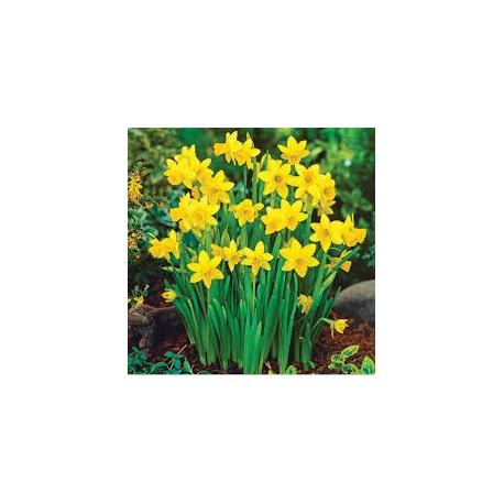 Нарцис в саксия/(Narcissus pseudonarcissus)