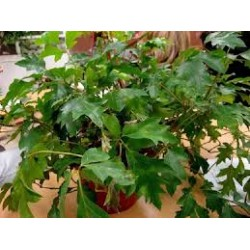 Стайна лоза(Rhoicissus rhomboidea)