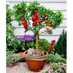 Нискостеблена праскова )Prunus persica nano/