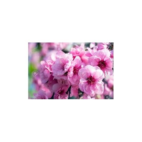 Prunus triloba / Японска слива/