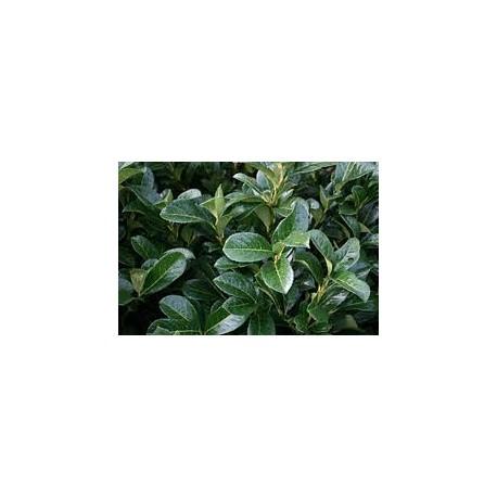 Лавровишна (Prunus laurocerasus')