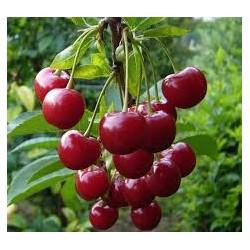 Вишна(Cerasus vulgaris)