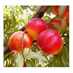 Праскова разни сортове( Prunus persika)