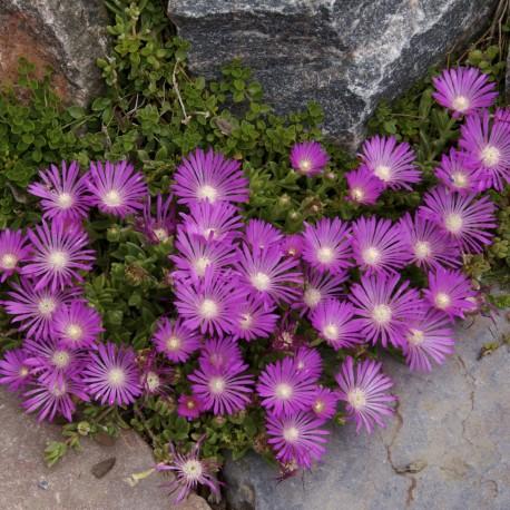 Лазаркиня лилава мини стебло(Delosperma Cooperi Table Mountain)