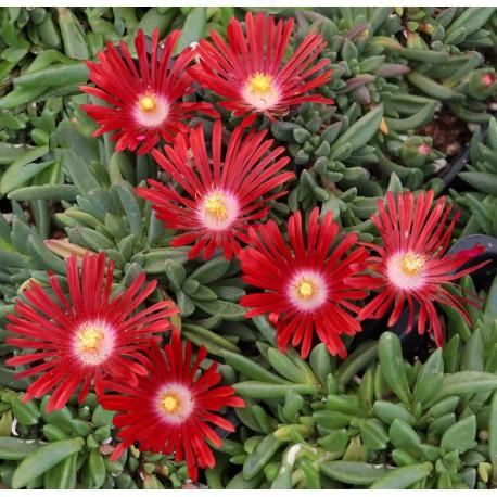 Лазаркиня червена (Delosperma 'Red Mountain )