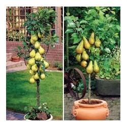 Нискостеблена ябълка ,круша,праскова, череша джудже ( Миниатюрни плодни дръвчета за верандата)