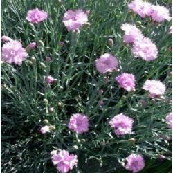 Градински алпийаски карамфилчета (Dianthus pinc sorten mix)