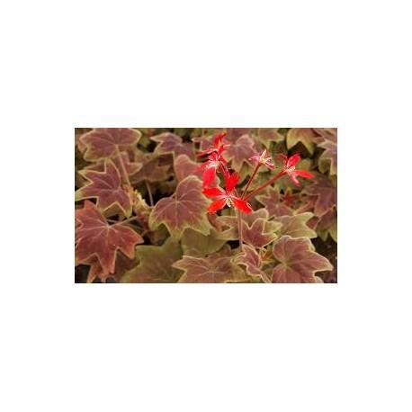 Мушкато Канадско сорт Ванкувар( Канадско мушкато (Pelargonium Vancouver Centennial)