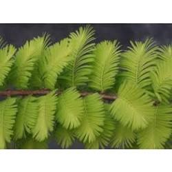 Метасеквоя (Metasequoia glyptostroboides, )
