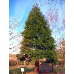 Гигантската секвоя,Мамонтово дърво) (Sequoiadendron giganteum)
