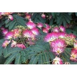 Албиция (Мимоза/Копринено дърво)-Albizia julibrissin