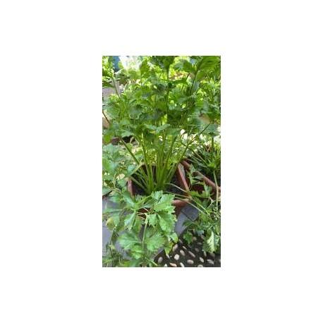 Целина листна (кервиз)-(Apium graveolen)