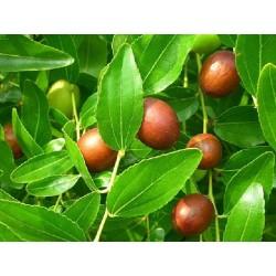 Хинап  (Zizyphus vulgaris)