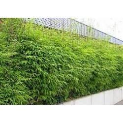 Бамбук ( Bambusa aspera)