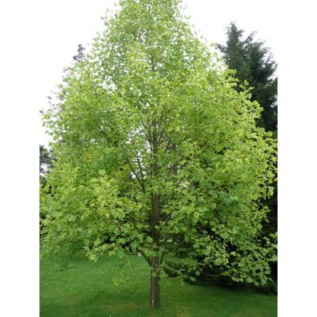Лирово дърво (Liriodendron)