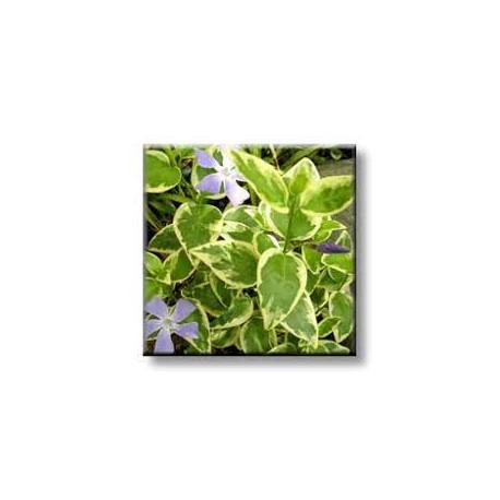 зеленика / многогодищна винка - бяла окраска / Vinka major wariegata