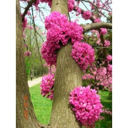 Див рожков, Дърво на Юда (Cercis siliquastrum)